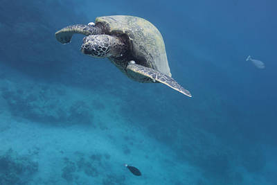 Photograph - Maui Sea Turtle Approach by Don McGillis
