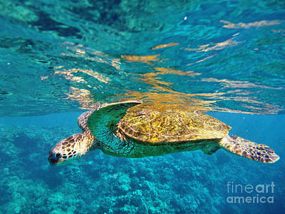 Maui Sea Turtle Art Print
