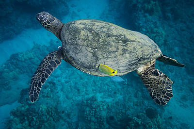 Photograph - Maui Sea Turtle Cleaning by Don McGillis