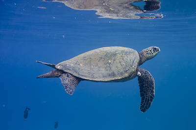 Photograph - Maui Sea Turtle Deep Blue by Don McGillis