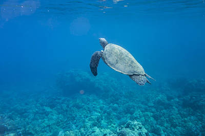 Photograph - Maui Sea Turtle Deep Blue Surfacing by Don McGillis