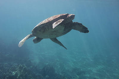 Photograph - Maui Sea Turtle Dives by Don McGillis