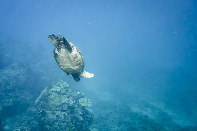 Photograph - Maui Sea Turtle Dives Down by Don McGillis