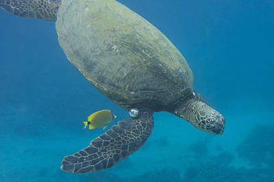 Photograph - Maui Sea Turtle Dives To Cleaning Station by Don McGillis