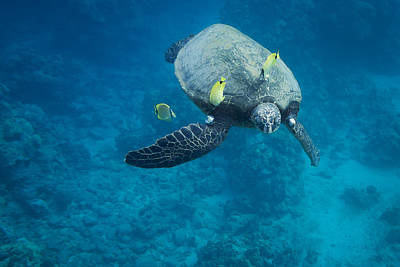 Photograph - Maui Sea Turtle Faces Us by Don McGillis