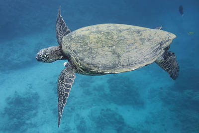 Photograph - Maui Sea Turtle Flying by Don McGillis