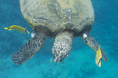 Photograph - Maui Sea Turtle Gets Cleaned by Don McGillis