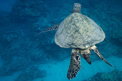 Photograph - Maui Sea Turtle Passes By by Don McGillis