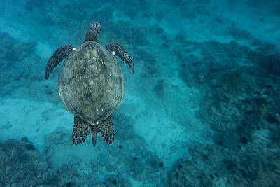 Photograph - Maui Sea Turtle Scouts For A Spot by Don McGillis