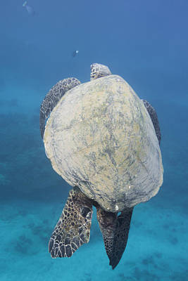 Photograph - Maui Sea Turtle Vertical by Don McGillis