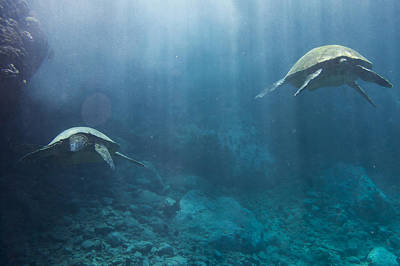 Photograph - Maui Sea Turtles Farewell by Don McGillis