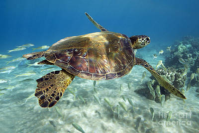 Photograph - Maui Turtle by David Olsen