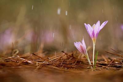 Nature Study Photograph - Mauve Colchicum by Photostock-israel