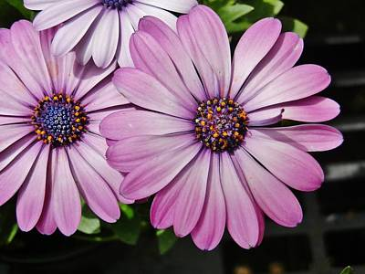 Photograph - Mauve Daisies by VLee Watson