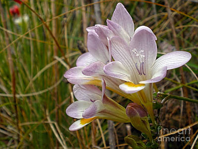 Mauve Freesia In The Wild Original by Kaye Menner