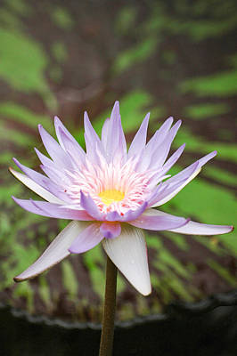 Photograph - Mauve Water Lily. by Rob Huntley
