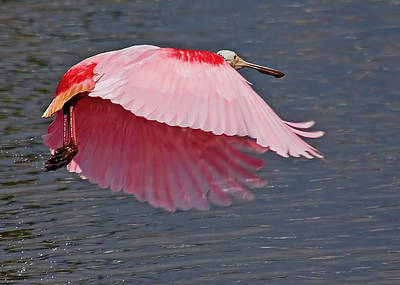 Spoonbill Photograph - Maximum Lift by Karl Ford