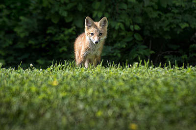 May 15 2014 Young Fox Looking At Richland Ky Print by Jim Pearson