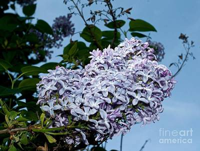 Photograph - May Day Lilacs by Chris Anderson