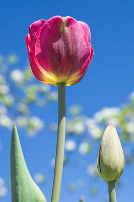 Photograph - May Tulip by Arkady Kunysz