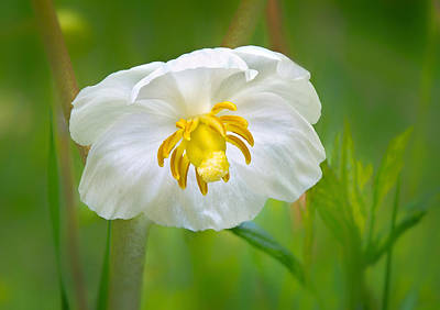 Photograph - Mayapple Flower by Carolyn Derstine
