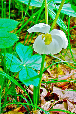 Mayapple In Donivan Slough At Mile 283 Of Natchez Trace Parkway-mississippi  Art Print by Ruth Hager