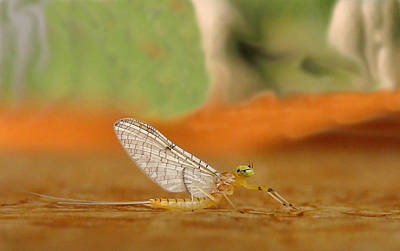 Mayfly Art Art Print by Thomas Young