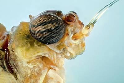 Mayfly Photograph - Mayfly Head by Nicolas Reusens