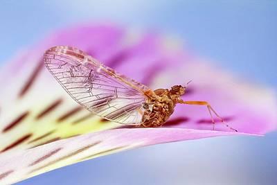 Mayfly On A Flower Art Print by Nicolas Reusens