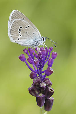 Animals And Insects Photograph - Mazarine Blue Butterfly Dordogne France by Silvia Reiche