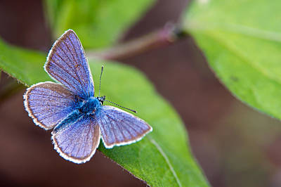 Animals Royalty-Free and Rights-Managed Images - Mazarine Blue  by Torbjorn Swenelius