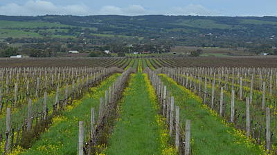 Photograph - Mcalren Vale Vineyard1.3 by Cheryl Miller
