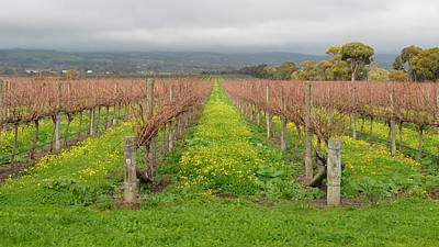 Photograph - Mclaren Vale Vineyard 1.5 by Cheryl Miller