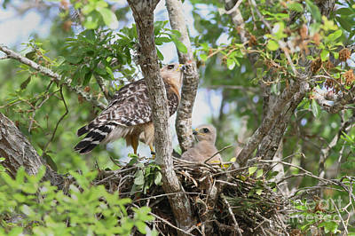 Red Shouldered Hawk Photograph - Me And Mom by Deborah Benoit