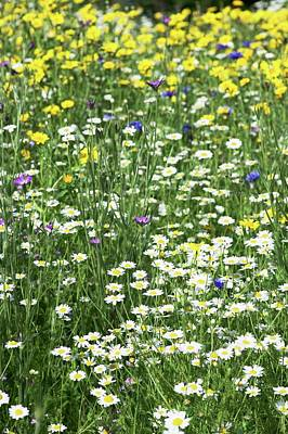 Agrostemma Githago Wall Art - Photograph - Meadow Flowers by Gustoimages/science Photo Library