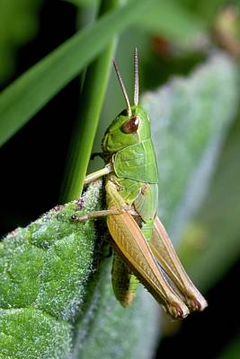 Grasshopper Wall Art - Photograph - Meadow Grasshopper by Sinclair Stammers/science Photo Library
