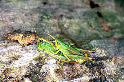 Meadow Grasshoppers Mating Art Print