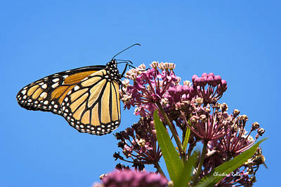 Rollos Photograph - Meadow Monarch by Christina Rollo