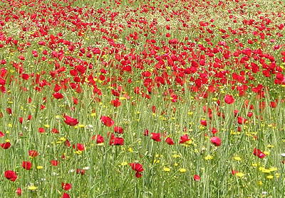 Photograph - Meadow With Beautiful Bright Red Poppy Flowers  by Tracey Harrington-Simpson