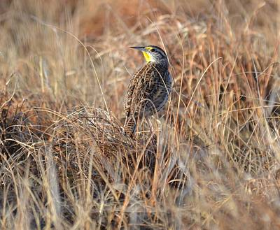 Photograph - Meadowlark In Grass by Rae Ann  M Garrett