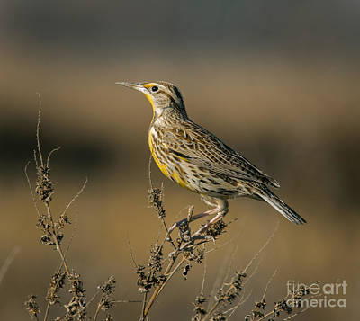 Meadowlark Photograph - Meadowlark On Weed by Robert Frederick