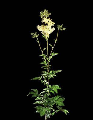 Rosaceae Photograph - Meadowsweet (filipendula Ulmaria) by Gilles Mermet