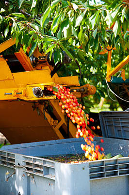 Mechanical Harvester Shaking Cherry Art Print by Panoramic Images