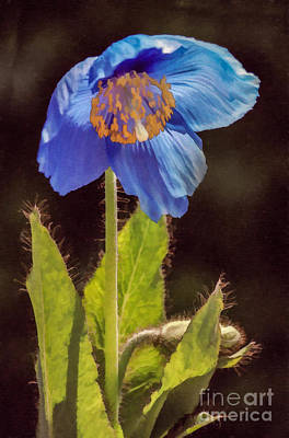 Digital Art - Meconopsis Himalayan Blue Poppy by Liz Leyden