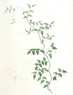 Asparagus Drawing - Medeola Asparagoides, Asparagus Asparagoides by Artokoloro