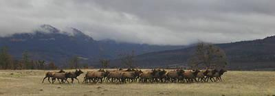 Roaming Elk Photograph - Medford Elk Herd by Cindy Wright