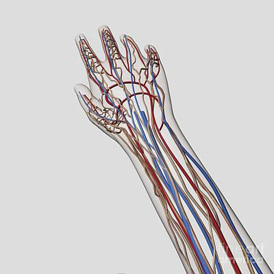 Ulnar Nerves Digital Art - Medical Illustration Of Arteries, Veins by Stocktrek Images