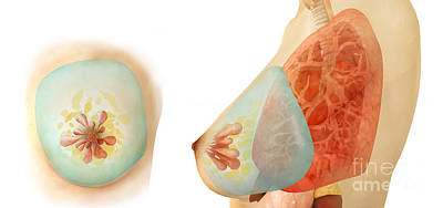 Digital Art - Medical Illustration Of Female Breast by Stocktrek Images