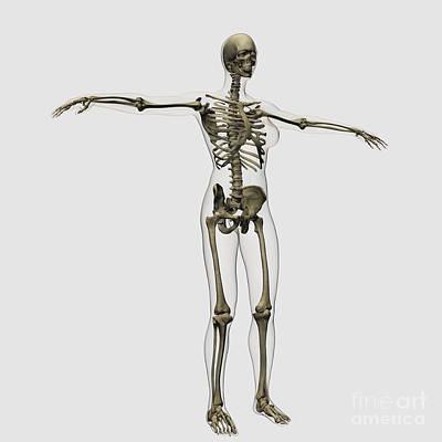Human Skeleton Digital Art - Medical Illustration Of Full Female by Stocktrek Images