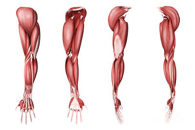 Digital Art - Medical Illustration Of Human Arm by Stocktrek Images